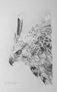 Hodgson Hawk Eagle Sketch, for larger images and further information click on this image.