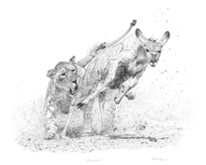Original pencil drawing 'Fierce Pursuit Sketch,' an African lioness hunting prey, for larger images and further information click on this image.
