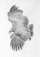'Golden Eagle Sketch' is an original pencil drawing of a golden eagle in flight, for larger images and further information click on this image.